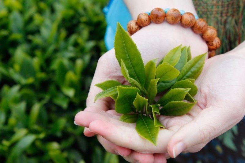 Se khít âm đạo tự nhiên bằng lá trà xanh.